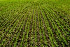 Vue des lignes de jeunes pousses de maïs sur le champ photos libres de droits