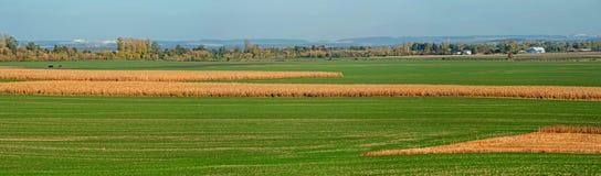 Vue des lignes des pousses vertes sur le champ et le champ de maïs sec photographie stock libre de droits