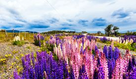 Vue des lupines fleurissants le long de la route en parc national Torres del Paine, Patagonia, Chili photos stock