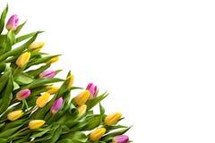 Vue des tulipes multicolores sur un fond blanc image stock