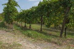 Vue des vignobles des collines d'Euganean, Italie pendant l'été Photos stock