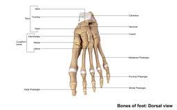 Vue dorsale de pied illustration stock