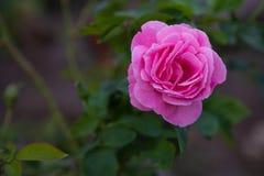 Vue droite d'une belle fleur rose Photo stock