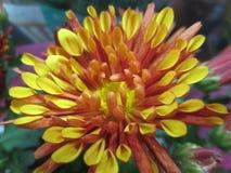 Vue du beau chrysanthème lumineux avec les pétales bruns et jaunes Photographie stock