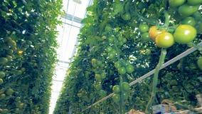 Vue du côté incliné des tomates vertes non mûres dans une fin  banque de vidéos
