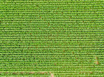 Vue du ciel d'une culture de champ de maïs Photos stock
