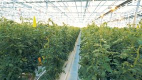 vue du Dessus-fond de taillis lié de tomate dans une verdure spacieuse banque de vidéos