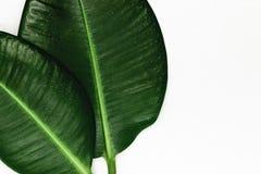 Vue du dièse deux et feuilles vertes de ficus sur une surface argentée de fond avec l'espace libre Photos stock