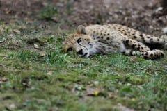 Vue du grand chat de gu?pard des felinae de subfamily photo stock