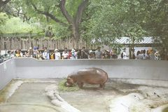 Vue du zoo de Dusit d'hippopotame, image stock