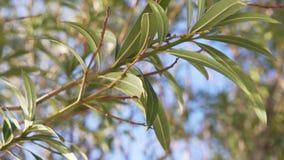 Vue en gros plan d'arbre vert de branche d'oléandre au soleil clips vidéos