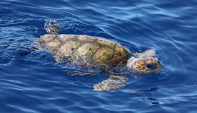 Vue en gros plan d'un caretta de Caretta de tortue de mer d'imbécile image libre de droits