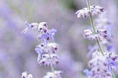 Vue en gros plan d'une fleur de lavande sur un gisement de lavande Photographie stock libre de droits