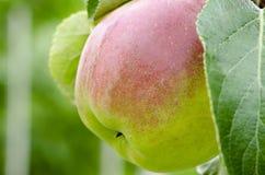 Vue en gros plan d'une pomme sur un arbre entre les feuilles Photo stock