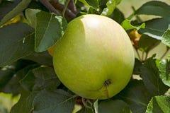 Vue en gros plan d'une pomme sur un arbre entre les feuilles Photographie stock libre de droits