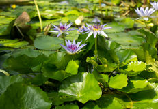 Vue en gros plan de caerulea bleu de Lotus Nymphaea avec des feuilles Photographie stock libre de droits