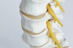 Vue en gros plan de nerf sortant du modèle de colonne lombaire photos libres de droits