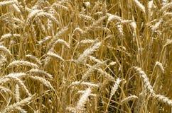 Vue en gros plan des clous de girofle mûrs de blé avant récolte Photographie stock libre de droits