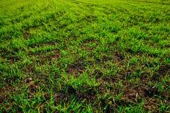 Vue en gros plan sur le champ de maïs de ferme avec l'herbe verte et le sol dans la campagne Images stock