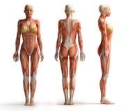 Vue femelle d'anatomie Photos libres de droits