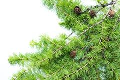 Vue, fond avec des branches d'arbre et cônes Photo stock