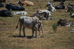 Vue frôlant des vaches Photos libres de droits