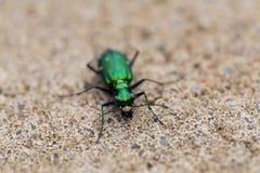 Vue frontale du scarabée de tigre six-repéré immobile sur le fond de trottoir photographie stock libre de droits
