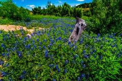 Vue grande-angulaire de Texas Bluebonnet célèbre photographie stock