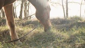Vue haute étroite d'herbe de grignotement honorée de cheval calme sur une pelouse dans le mouvement lent du bois banque de vidéos