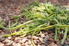 Vue haute étroite d'un baccifera de Rhipsalis ou des branches et des épines de cactus de gui images libres de droits