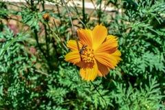 Vue haute étroite de la fleur colorée jaune avec l'insecte sur le dessus dans le jardin image libre de droits
