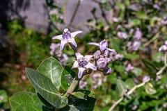 Vue haute étroite de la fleur de gigantea de Calotropis également connue sous le nom de fleur de couronne photographie stock libre de droits