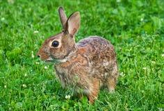 Vue haute étroite de lapin de lapin oriental photos libres de droits