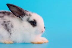 Vue haute étroite de peu de lapin noir et blanc sur le fond bleu photos libres de droits