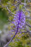 Vue haute étroite des fleurs sauvages de hyacinthoides de Scilla, un indigène de geophyte vers le Moyen-Orient, en pleine florais photos stock
