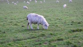 Vue haute étroite des moutons blancs domestiques frôlant sur le pré vert clips vidéos