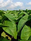 Vue haute étroite des plantes de tabac photos stock