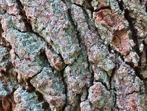 Vue haute étroite sur l'écorce d'arbre admirablement détaillée des chênes et d'autres arbres photo libre de droits
