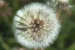 Vue haute ?troite de la fleur blanche de pissenlit photo stock