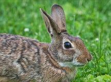 Vue haute ?troite de lapin de lapin oriental images libres de droits