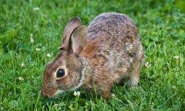 Vue haute ?troite de lapin de lapin oriental photographie stock libre de droits