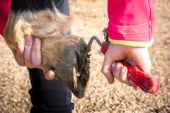 Vue horizontale d'une fille nettoyant l'entrave d'un cheval avec Ho photo libre de droits