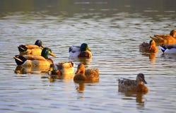 Vue idyllique de lac de canards sauvages Photos stock