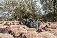 Vue inclinée des moutons tondus sur la route rurale avec un véhicule essayant de passer Un mouton regarde l'appareil-photo L'Azer Image stock