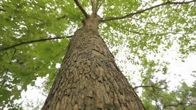 Vue inférieure d'érable de couronne, vue inférieure de grand érable, arbre d'érable avec les branches larges banque de vidéos