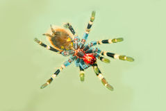 Vue inférieure d'araignée de Tarantula Photo libre de droits