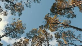 Vue inférieure d'une forêt de pin dans la belle lumière de matin Vue inf?rieure banque de vidéos