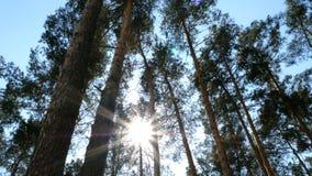 Vue inférieure de couronne luxuriante de pin grand dans la forêt contre un ciel bleu un jour ensoleillé banque de vidéos