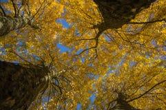 Vue inférieure de grands arbres avec le congé jaune Image libre de droits