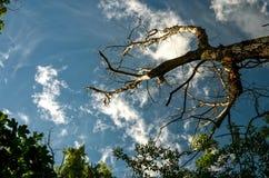 Vue inférieure des arbres et du ciel avec des nuages arbre mort élevant haut droit Photos libres de droits